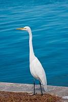 Beautiful Great White Egret