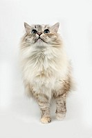 Seal Tabby Point and White Siberian Domestic Cat, Female against White Background