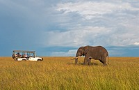 Kenya Masai Mara Africa lone giant elephant in golden sunset with grass with safari vehicle with tourists taking photos at Masai Mara National Park in...