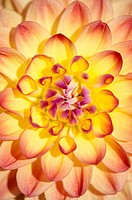 Detailed view of a Dahlia blossom (Dahlia), Anna 2005 variety, Germany, Europe