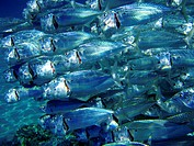 Very close photo of fish school. Coral reef, Red Sea.