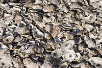 Pattern of seashells at Jamestown, Virginia.