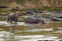 Hippopotamuses in pool of water in Masai Mara near Little Governors camp in Kenya, Africa
