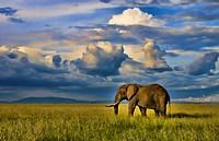 Masai Mara National Park Kenya Africa sunset with huge male elephant in sunset with tall golden grass in Masai Mara