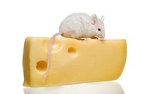 Close_up of a rat eating cheese