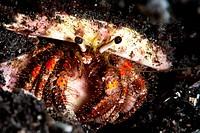 Hermit crab Clibanarius seurati, Sulawesi, Indonesia, Southeast Asia, Asia