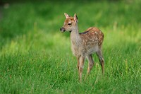 Sika Deer (Cervus nippon), fawn, wildlife park, Bavaria, Germany, Europe
