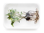 uprooted plant in supermarket packaging