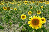 Sunflower plantation vibrant yellow flowers
