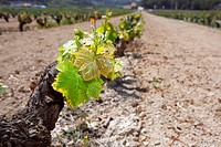 vineyard first spring sprouts in row field in Spain
