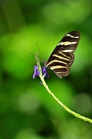 Zebra longwing Heliconius charitonius, Niagara Butterfly Conservatory, Niagara Falls, Ontario, Canada