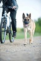 Malinois or Belgian Shepherd Dog walking beside a bicycle
