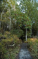 Staghorn Sumac, Nature Center, Acadia Nat. Park, ME