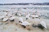Swans on frozen river