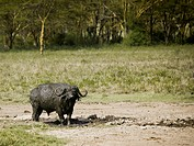 Water buffalo covered with mud