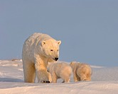 Polar Bear Sow Keeps Her Spring Cubs Close By