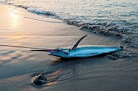 A dead marlin on a hook being dragged up the beach, Lamalera, Lembata Island, Eastern Indonesia.