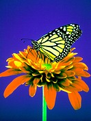 Monarch Butterfly Perched on a Red Daisy