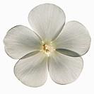 A white phlox flower.