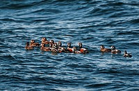 Harlequin Ducks Histrionicus histrionicus winter in small groups along coastal Nova Scotia, Bay of Fundy, late April, Canada.