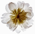 White Peony Flower with Small Bug on White Background