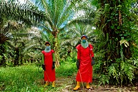 Workers wear protective clothing and face masks for spraying insecticide at an oil palm plantation, Bintulu, Sarawak, Malaysia. Oil palms are grown co...
