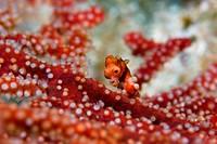 Denise´s pygmy seahorse Hippocampus denise on a sea fan, Raja Ampat Islands, West Papua, Indonesia.