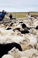 Flock of sheep near Hofn, Iceland, Scandinavia, Europe