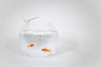 Fishing a goldfish