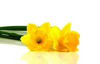narcissus on white background