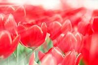 Tulip flowers in spring