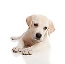 Labrador baby