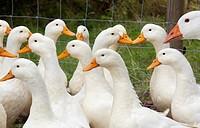 Aylesbury Ducks freerange on Norfolk smallholding