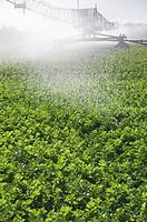 Irrigating celery crop at Happisburgh Norfolk september
