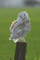 Barn Owl Tyto alba adult male, preening, standing on post in farmland, North Yorkshire, England, march