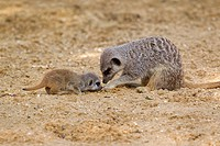 Meerkat Suricata suricatta adult female and baby, foraging for food on sand captive