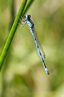 Southern Damselfly Coenagrion mercuriale adult male, feeding, Reserve Naturelle Coussouls de Crau, Bouches_du_Rhone, Provence, France, June