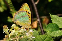 Silver_washed Fritillary Argynnis paphia adult, showing irridescent underside of wings, feeding on bramble flowers, Southwater Woods, West Sussex, Eng...