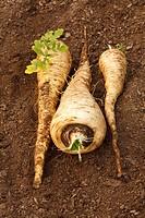 Parsnip Pastinaca sativa ´Javelin F1´ variety, freshly dug roots, Powys, Wales, January