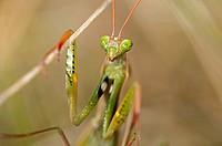 European mantis Praying mantis, Mantis religiosa, Calcareous grassland, Haut-Rhin, France