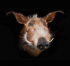 Face of a warthog phacochoerus africanus on a black background