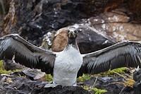 Nazca booby Sula grantii chick, Punta Suarez, Santiago Island, Galapagos Islands, Ecuador, South America