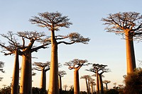 The Alley of the Baobabs Avenue de Baobabs, a prominent group of baobab trees lining the dirt road between Morondava and Belon´i Tsiribihina, Madagasc...