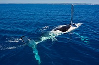 Humpback whale Megaptera novaeangliae in Harvey Bay, Queensland, Australia, Pacific