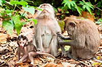 Long_tailed macaques