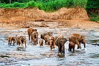 Elephants at the Pinnawela Elephant Orphanage in Sri Lanka
