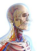 Human anatomy, computer artwork.