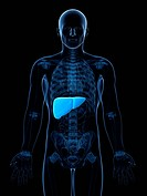 Healthy liver, computer artwork.