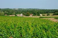 the vineyard of Sauternais in summer