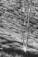 Form of trees in tea garden